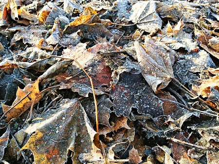 Leaves frosty